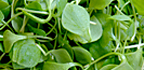 Purslane. - Copyright – Stock Photo / Register Mark